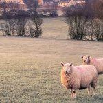 Çobanlığımızdan Henüz Memnun Değiliz-Ama Eskiye Göre Çok Daha İyi Gidiyoruz